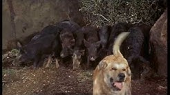 Walt Disney's Old Yeller 1957 The Wild Hogs