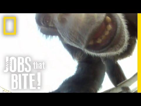 When Chimps Attack  Jobs That Bite
