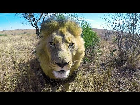 Loading The Lions | The Lion Whisperer