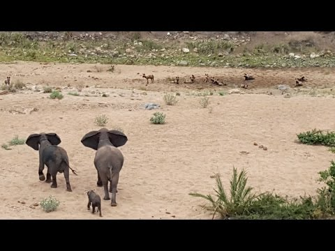 Elephants Protect Calf From Wild Dogs
