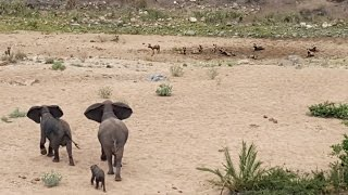 Elephants Protect Calf From Wild Dogs thumbnail