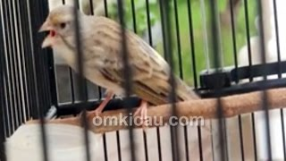 Suara Kicau burung BLACKEN GARUDA Durasi 5 Menit Untuk masteran