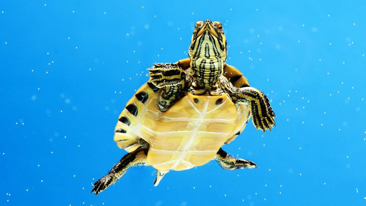 Whats an Aquatic Turtle? Pet Turtles - YouTube