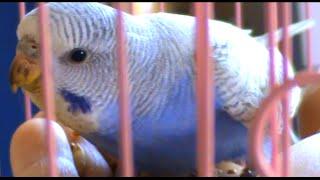 Июньские малыши волнистых попугаев
