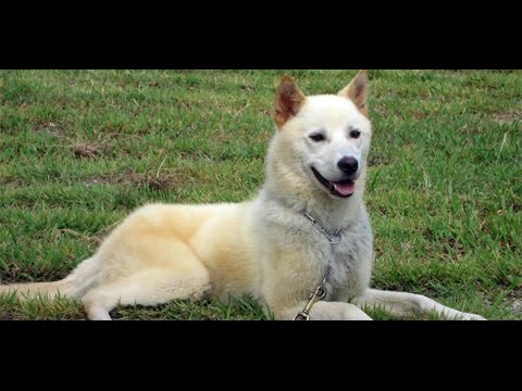 Korea Jindo Dog - Dog Breed