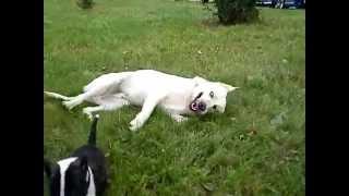 Boi!arko Bullterrier
