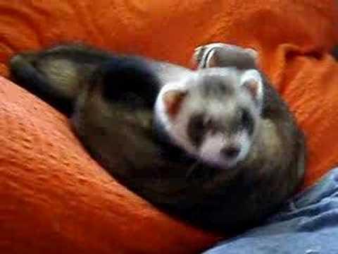 Yawning ferrets