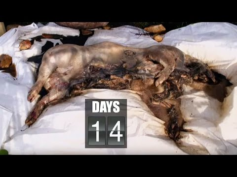Time Lapse Pig Decomposition - Secrets of Everything - Brit Lab - BBC