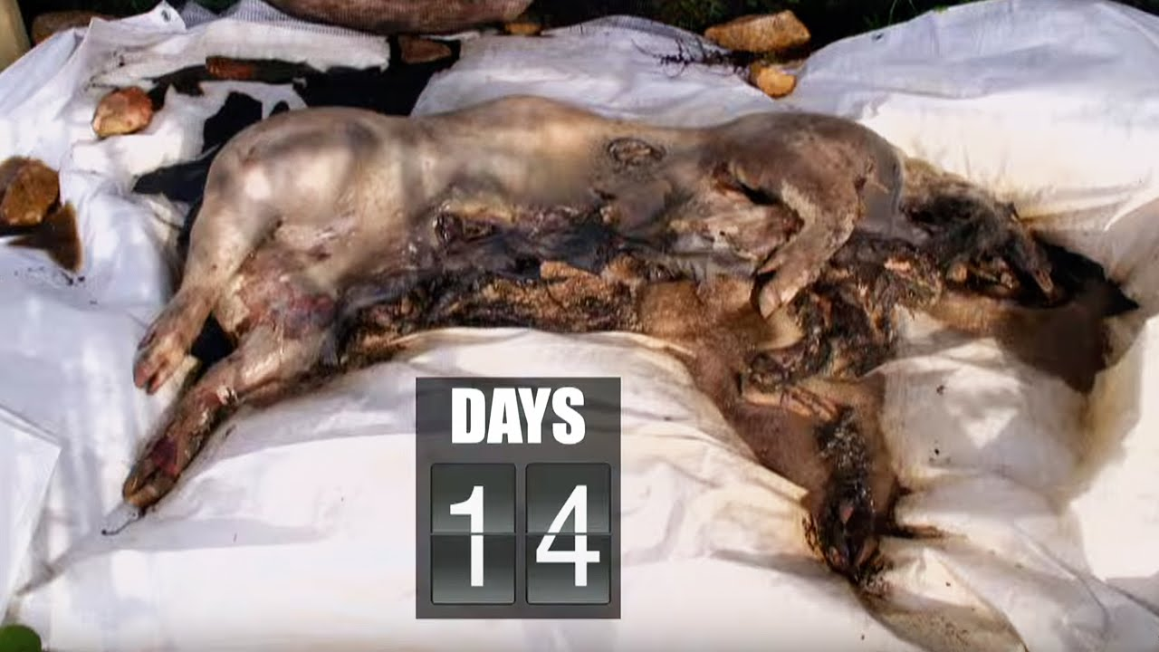 Time Lapse Pig Decomposition | Secrets of Everything ... Human Decomposition Time Lapse