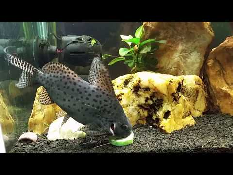Synodontis Catfish And Crayfish Like Blanched Cucumber