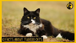 10 Facts About Tuxedo Cat You Need To Know