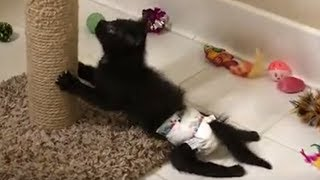 Paralyzed Kitten Is Sassiest Cat Her Foster Mom - Cat Rescue Video