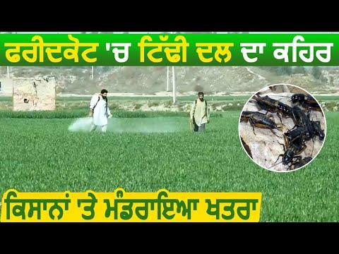 Faridkot में टिड्डी दल का कहर, किसानों ने सरकार से की मांग