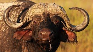Lion Vs Buffalo Epic Battle In An Epic War Documentary 2015