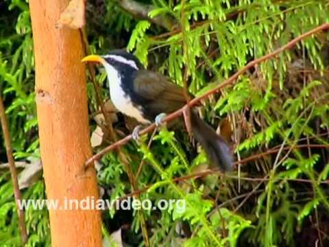 Indian Scimitar Babbler or Pomatorhinus Horsfieldii