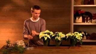 Dekorationsideen für den Fachhandel: Weihnachtsstern- Arrangements im rustikalen Landhausstil