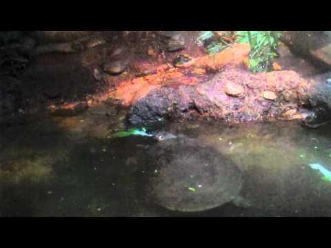 Podocnemis Expansa & Mata Mata - World of Reptiles - Bronx Zoo
