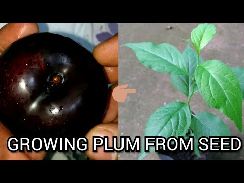 How To Grow Plums From Seed