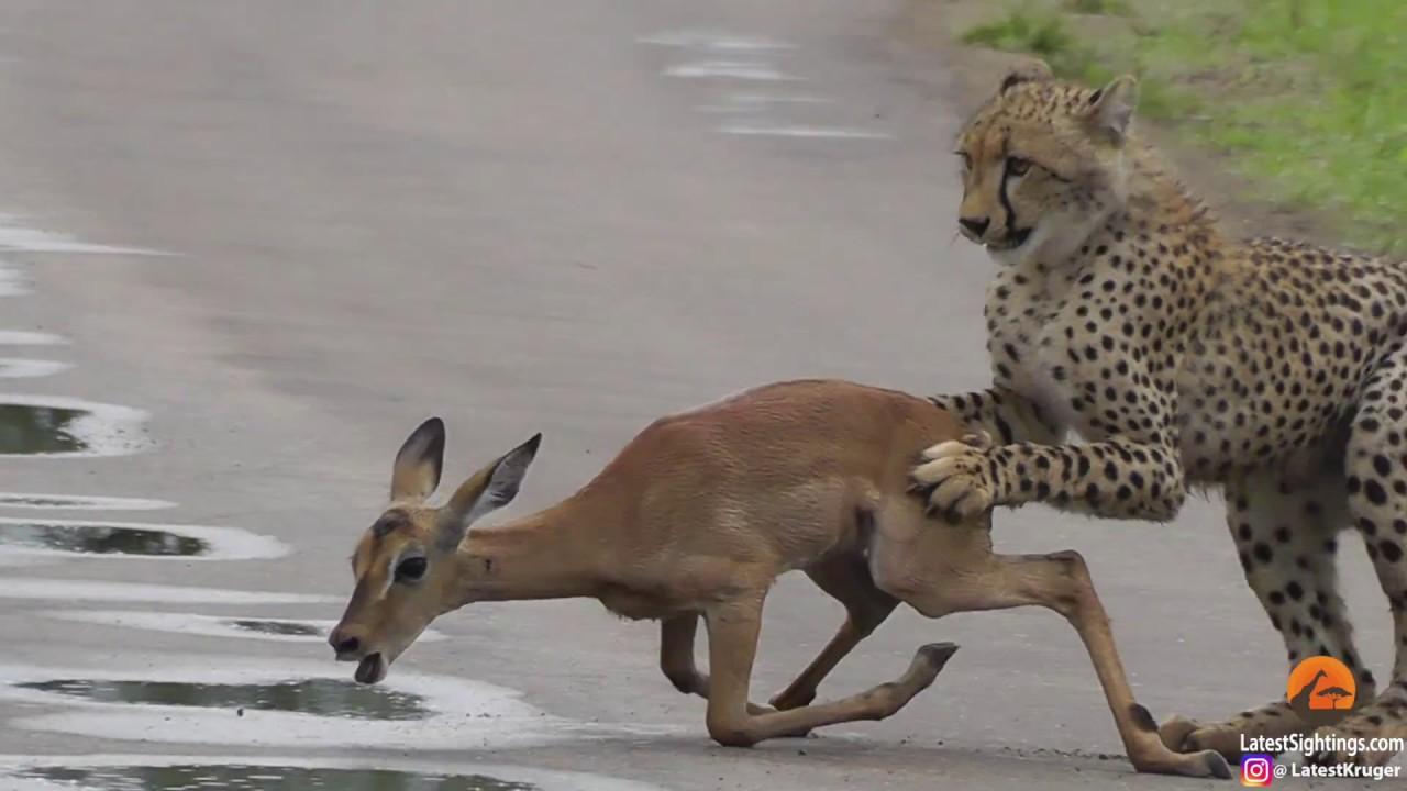 a young cheetah makes