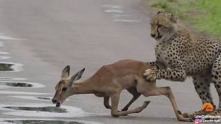 A young cheetah makes its first kill