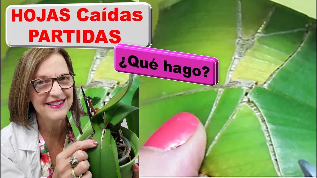 Qué hago con hojas partidas quebradas resquebrajadas rotas de Orquideas se empezaron a secar #323