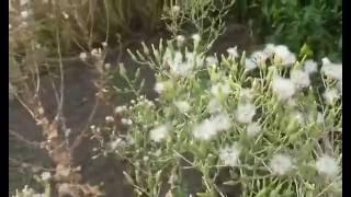 видео Салат Лолло Росса: описание, прольза и вред, фото, выращивание из семян
