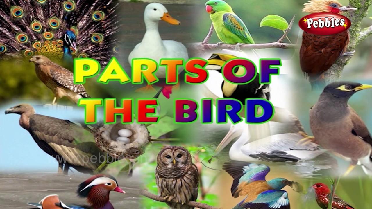 birds body parts learn english basics for kids english grammar