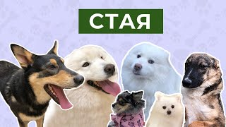 Стая собак у которых огромные и зубастые пасти с интересом знакомятся с маленькой собачкой