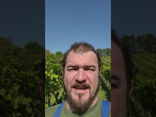 Tausche Steine gegen Trauben. Kaiserwetter im Weingarten
