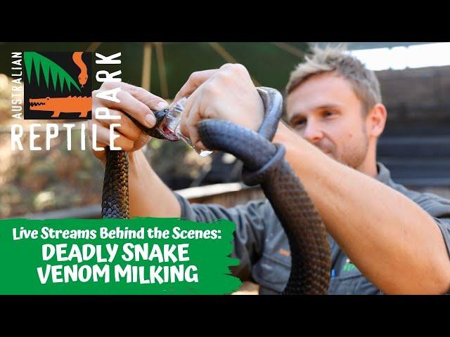 LIVE: MILKING VENOMOUS SNAKES   AUSTRALIAN REPTILE PARK