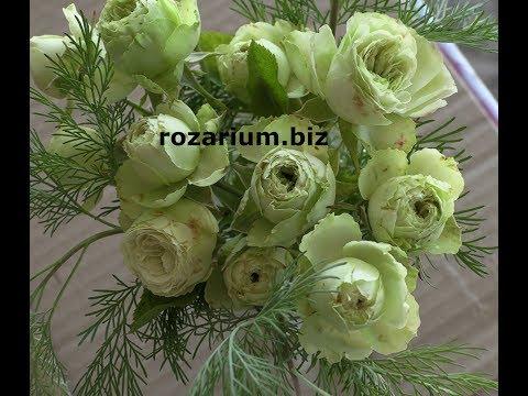 зеленые розы, а так же серые коричневые и голубые, питомник роз полины козловой rozarium.biz
