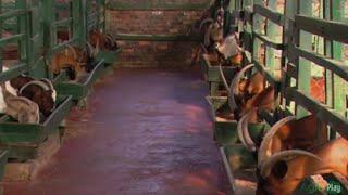 Cría de Cabras, una alternativa económica (Capricultura) - TvAgro por Juan Gonzalo Angel