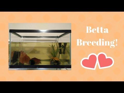 Setting Up a Betta Fish Breeding Tank