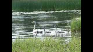 Sångsvan. Whooper swan.