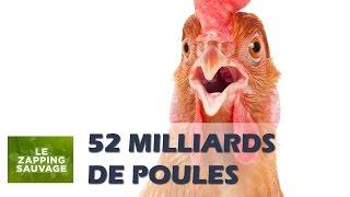 Les poules envahissent le monde - ZAPPING SAUVAGE 62