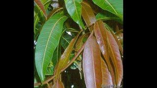 इसकी दो पत्तियों के सेवन से शुगर को जड़ से खत्म करे 100% गारंटी के साथ //Jeevan Mantra