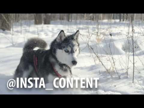 siberian-husky-running-in-the-snow