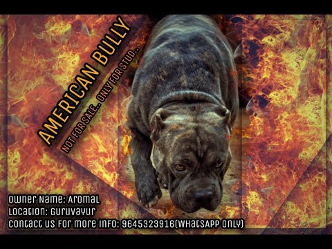 Baixar GV American bully - Download GV American bully | DL