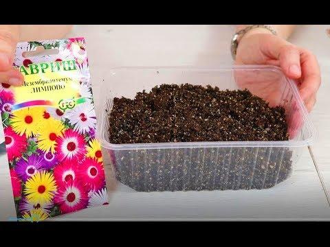 Мезембриантемум. Посев семян на рассаду