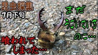 カブトムシ+クワガタ=昆虫採集 でかいミヤマ、まだ元気なのに食べられ...