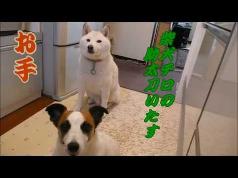お手を助太刀いたす。面白い柴犬白チロ Shiba Inu White & Jack Russell Terrier