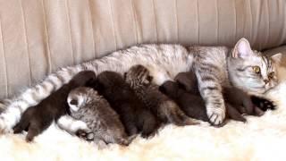 Британским котятам 7 дней