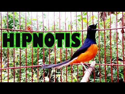 Suara Burung Murai Batu Borneo Juara