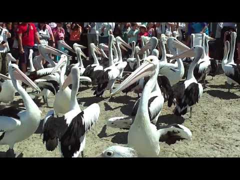 Pelican feeding at Southport. Wild pelicans-dead fish