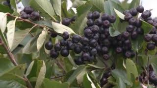Aronija, biljka koja je i hrana i lek - U nasem ataru 408.wmv
