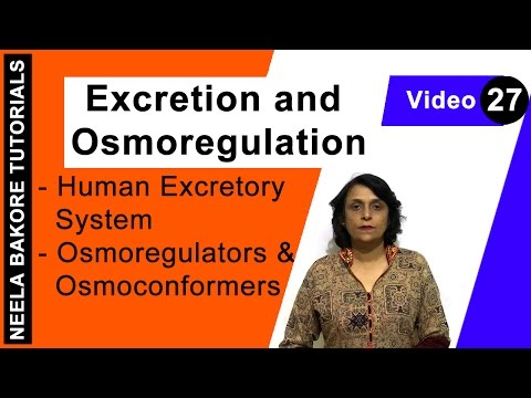 Excretion And Osmoregulation - Human Excretory System - Osmoregulators And Osmoconformers