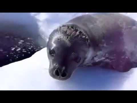 Очень смешной тюлень!)) Ржач!
