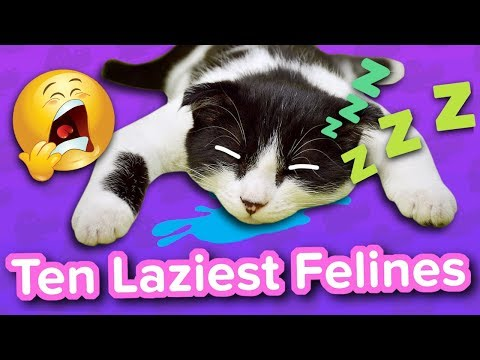 Ten Laziest Felines // Funny Animal Compilation