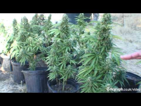 How a Marijuana farm is populated