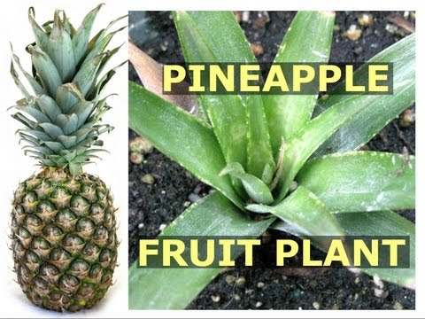 How To Grow Pineapple Fruit Plant Using Crown Top - Container Gardening Growing Tips Jazevox Video